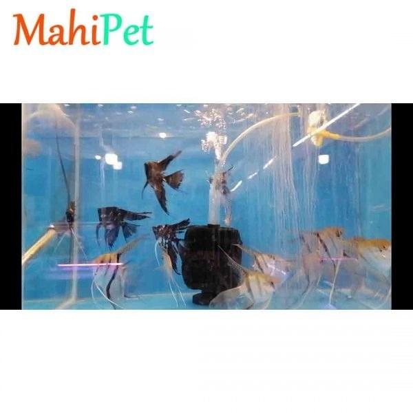 تصویر ماهی آنجل مولد 3 تا 5 سانت