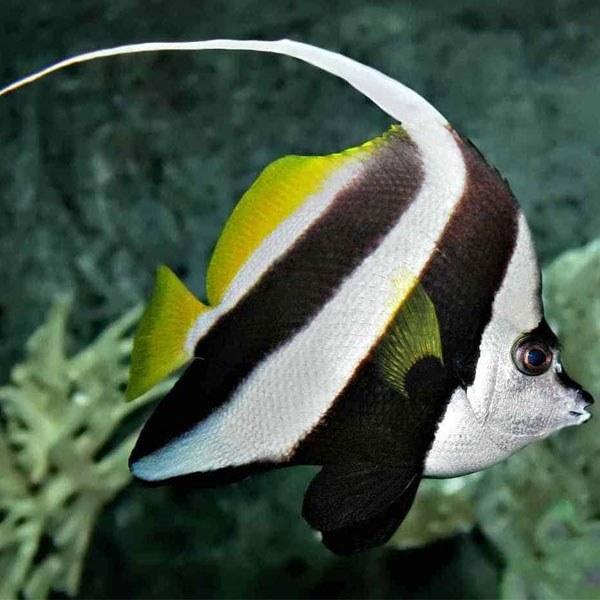 تصویر پروانه ماهی آنتن دار – Longfin Bannerfish