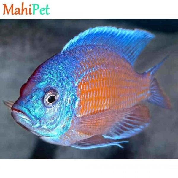 تصویر ماهی سیچلاید آفریقایی مولد 15 تا 20 Cm