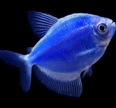 تصویر ماهی کالرویدو آبی