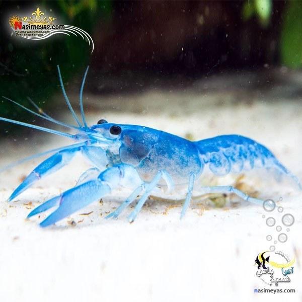 تصویر کامبارلوس آبی یا خرچنگ مینیاتوری آب شیرین Shrimp Blue Cambarellus