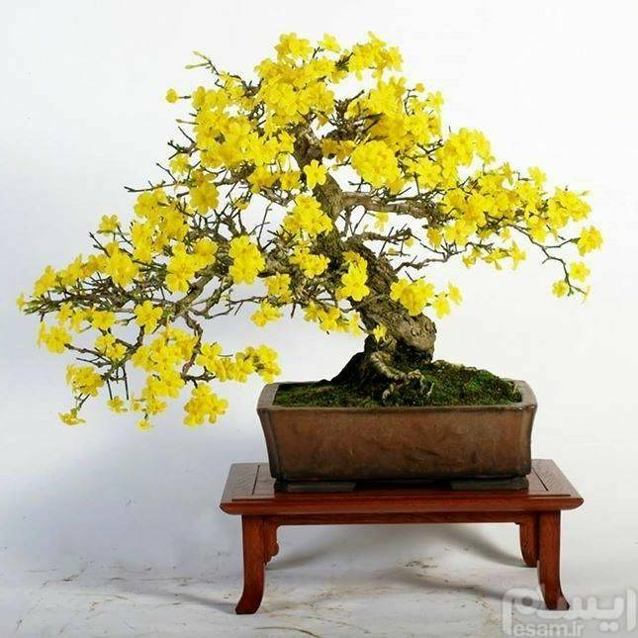 Chimonanthus bonsai بذر بونسای خوشبو و زیبای گل یخ