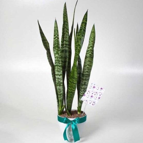 گلدان سانسوریا |