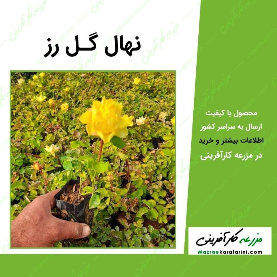 تصویر نهال گل رز