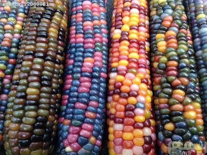بذر ذرت رنگی وارداتی |