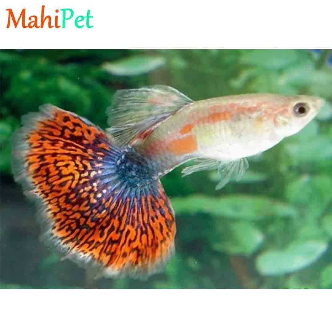 تصویر ماهی گوپی کبری 3 تا 5 (جفت)
