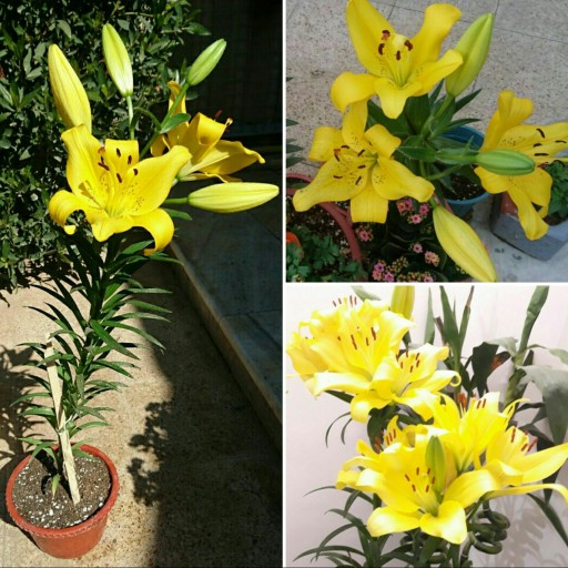 main images پیاز آماده کشت گل لیلیوم در رنگهای مختلف معطر