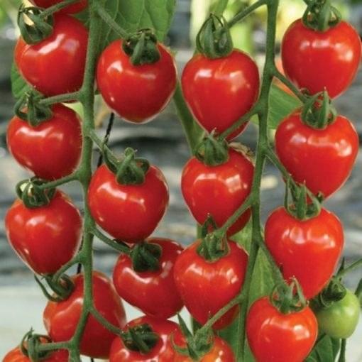 بذر گوجه فرنگی توت فرنگی بسته ۲۰ عددی