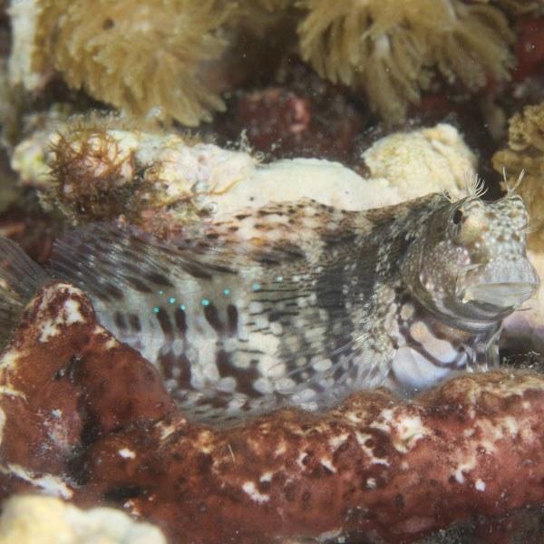 تصویر ماهی شاه بلنی – Jeweled Blenny