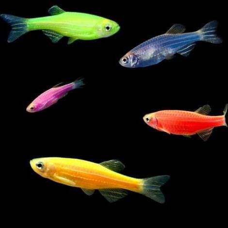 تصویر پک ماهی زبرا میکس