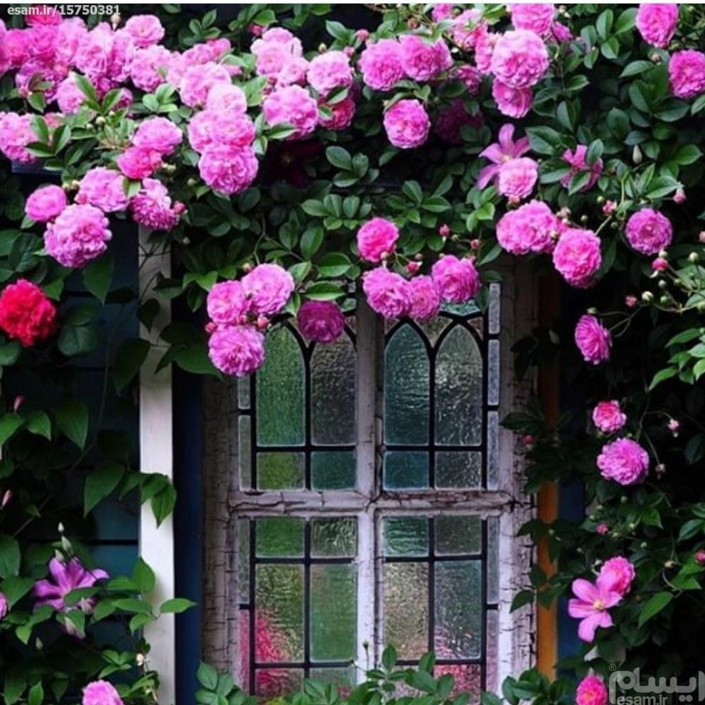 بسته 5 عددی بذر گل رز رونده صورتی | بسته 5 عددی بذر گل رز رونده صورتی