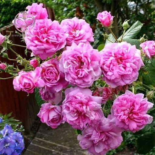 بذر گل محمدی |
