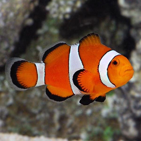 تصویر دلقک ماهی اسلاریس هندی – Ocellaris Clownfish
