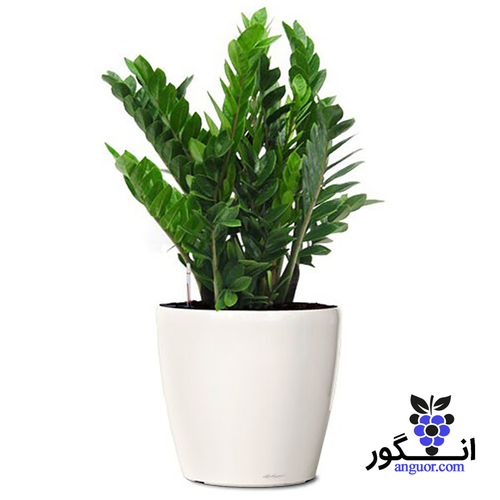 گیاه گلدانی (گل آپارتمانی) زامیفولیا | zanzibar gem