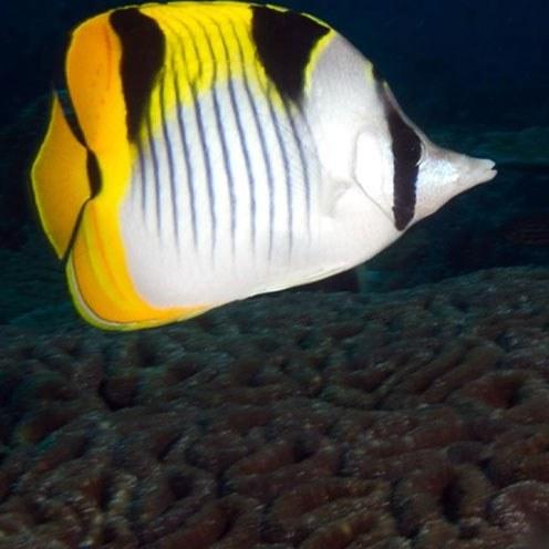 تصویر پروانه ماهی فالکولا – Falcula Butterflyfish