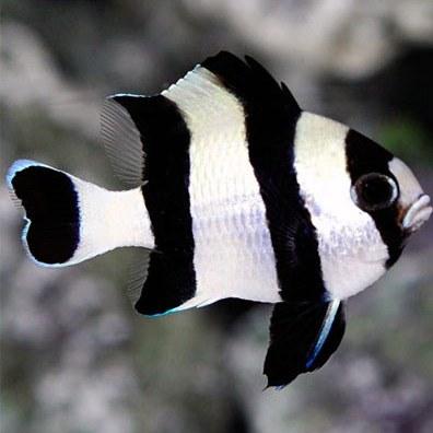 تصویر دامسل چهار خط – Four Stripe Damselfish