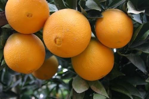 تصویر پرتقال تامسون شمال