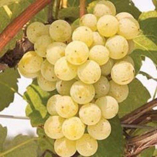 عکس نهال انگور بیدانه سفید 5 عددی  نهال-انگور-بیدانه-سفید-5-عددی