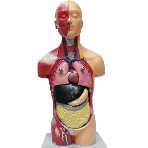 تصویر مولاژ مینی آناتومی علمی آموزشی انسان مدل 7 قسمتی