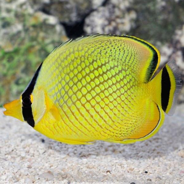 تصویر پروانه ماهی مشبک – Latticed Butterflyfish