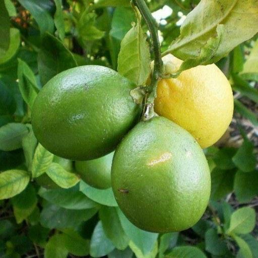 لیمو لیسبون (عمده 100 کیلویی) |
