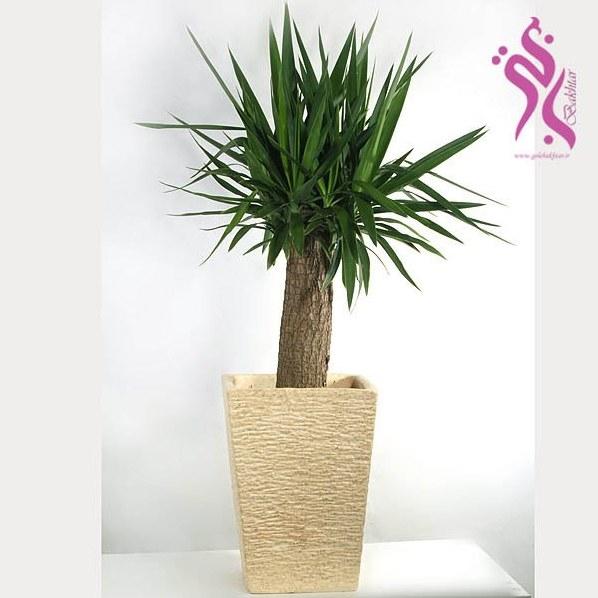 عکس گیاه آپارتمانی یوکا( همراه گلدان سنگی )  گیاه-اپارتمانی-یوکا-همراه-گلدان-سنگی