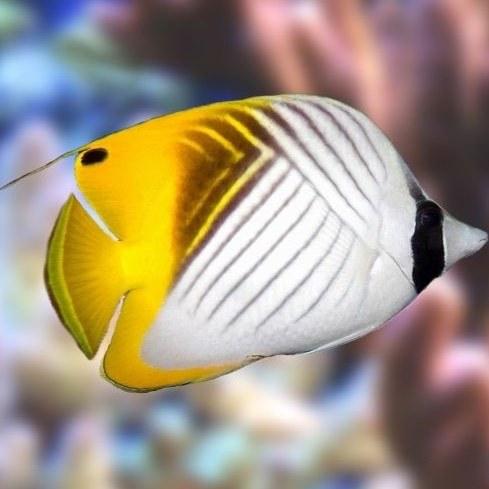تصویر پروانه ماهی اوریگا – Auriga Butterflyfish