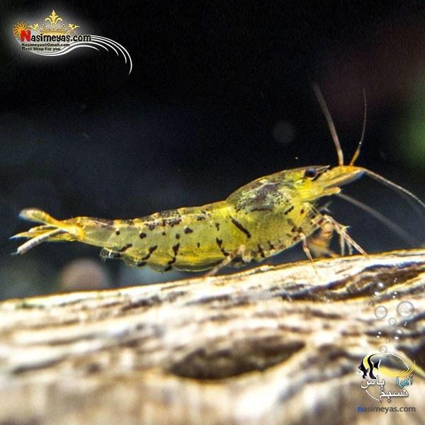 تصویر میگو تانجرین تایگر درجه یک آب شیرین tangerine tiger shrimp
