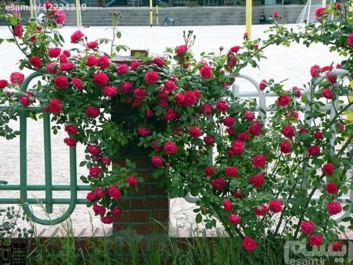 بذر رز رونده قرمز معطر |