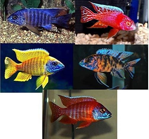 ماهی سیچلاید african cichlids