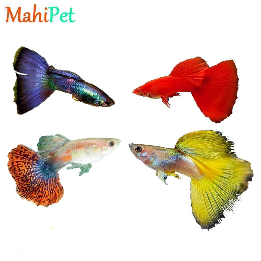 تصویر پک ماهی گوپی خاص