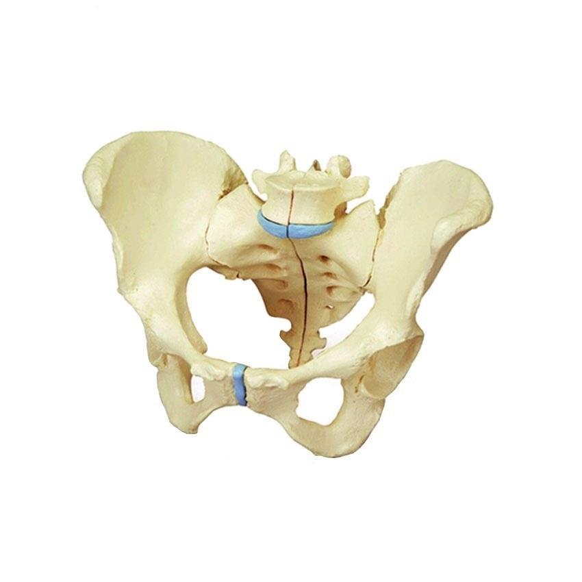 تصویر مولاژ اسکلت لگن خاصره Pelvic skeletal model
