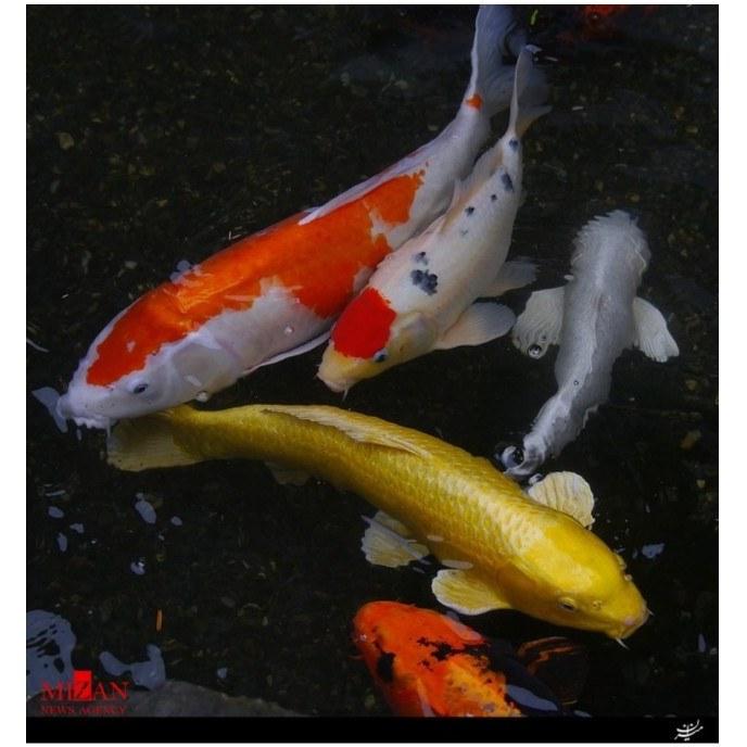 پک ماهی کوی ۲۵ سانت