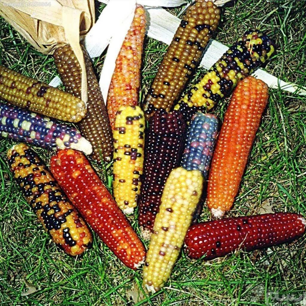 بذر ذرت رنگین کمان مینیاتوری | این بسته شامل 10 عدد بذر میباشد.