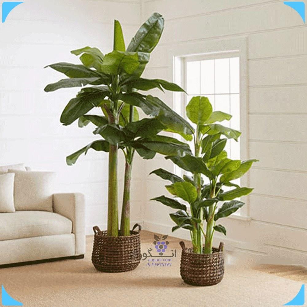 درختچه موز زینتی در دو سایز (گل و گیاه آپارتمانی)