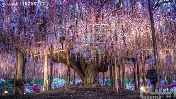 بذر درخت ویستریا ژاپنی | بذر گیاه ویستریا(وارداتی) - با قوه نامیه بالا