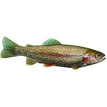ماهی قزل آلا تازه |