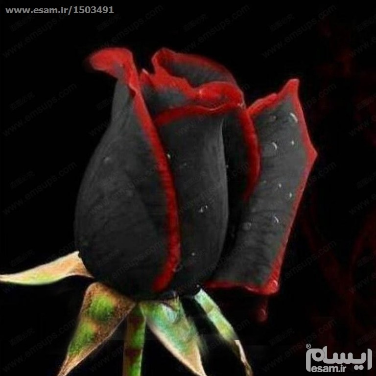 بذر رز سیاه با حاشیه قرمز | 10 عدد بذر وارداتی رز سیاه با حاشیه قرمز