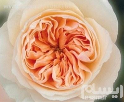 بسته 4 عددی بذر گران ترین رز جهان : رز جولیت Juliet rose | بذر گران ترین رز جهان : رز جولیت Juliet rose