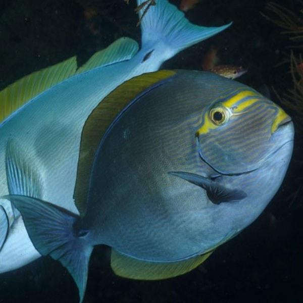 تصویر جراح ماهی ماتا – Mata Tang Fish