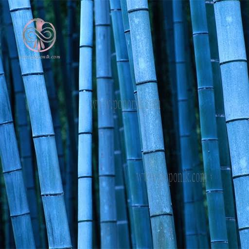 main images بذر بامبو آبی