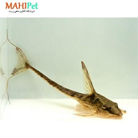 تصویر ماهی کت فیش دم عقربی 5 تا 7 سانت