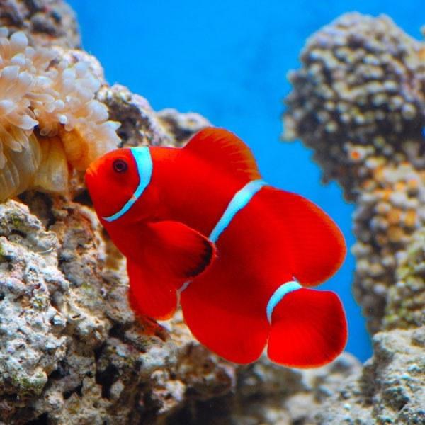 دلقک ماهی مارون – Maroon Clownfish