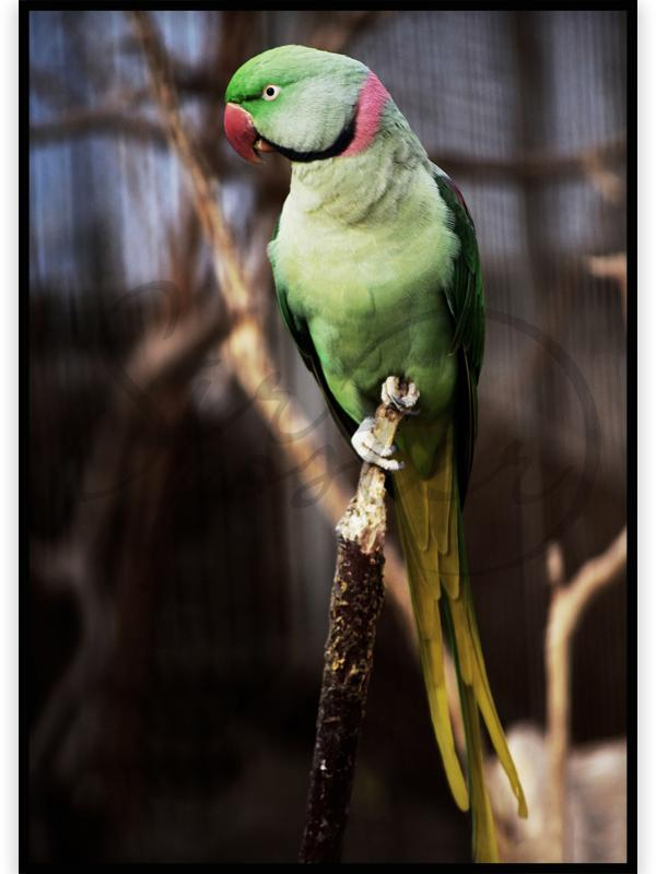 طوطی ملنگو – Melongo Parrot