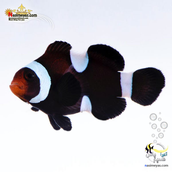 image ماهی دلقک بلک اسلاریس تکثیری black ocellaris clownfish