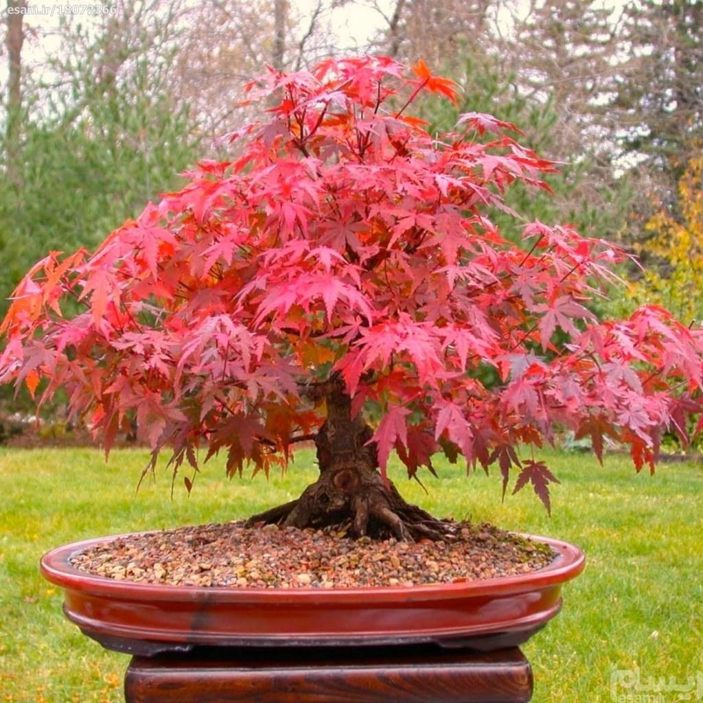 درخت افرا قرمز