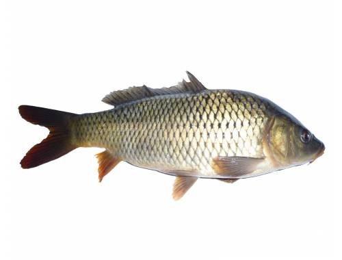 بچه ماهی گرم آبی کپور |