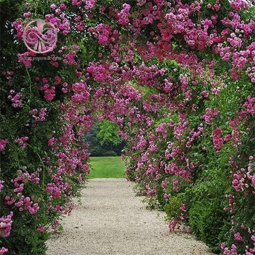 تصویر بذر گل رز رونده بنفش