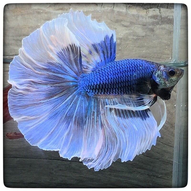 تصویر ماهی فایتر هافمون – نر