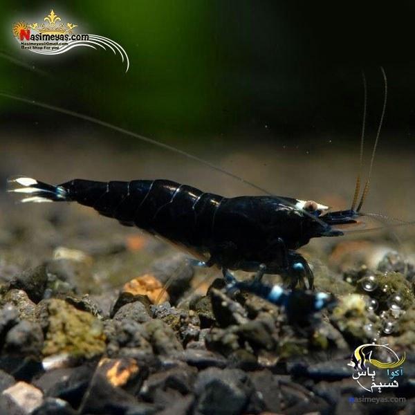 تصویر میگو بلک کینگ کنگ درجه یک آب شیرین black king kong shrimp